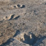 Are these the footsteps of T-Rex's cousin? The 2ft-long footprints in an Arkansas field that have astounded scientists